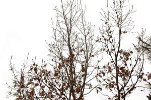 Tree Brown Leaves