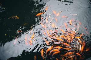 Big Japanese colorful red Fish Koi or Nishikigoi Fish or Brocaded Carp in swiming in pond water.