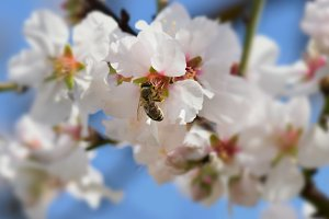 Bee Almond Flower