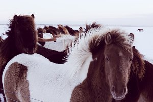 Icelandic Horses in Winter #04