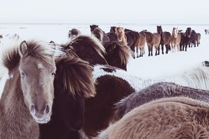 Icelandic Horses in Winter #03