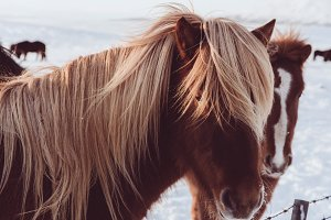 Icelandic Horses in Winter #01