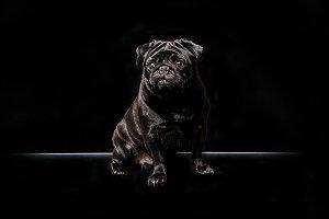 Black Pug Love