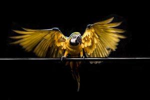 Macaw Parrot midflight