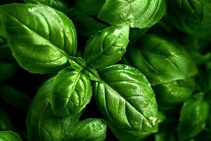 Closeup of tasty fresh green basil