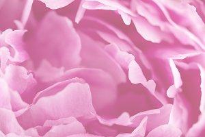 Macro Closeup Pink Beauty Flower