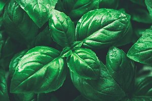 Closeup Macro Fresh Tasty Basil