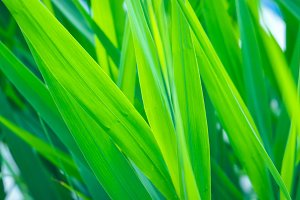 Leaves of sedge