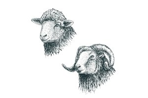 Horned ram and lamb