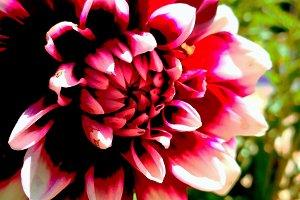 Bold color dahlia