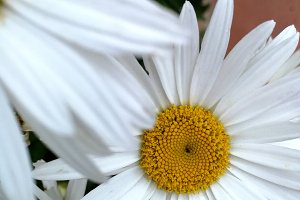Daisies closeup