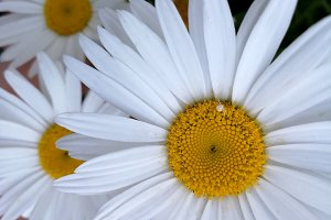 Realistic daisies closeup