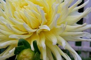 Elegant closeup dahlia