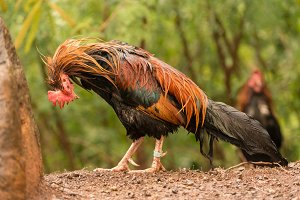 Wild poultry on Kauai soaking wet after rain storm