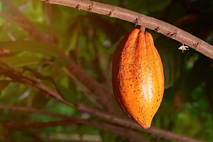 Yellow color cacao pod