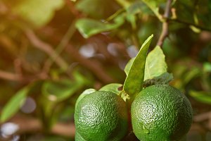 Wet limes growing