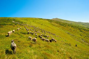 Herd of sheeps in mountians