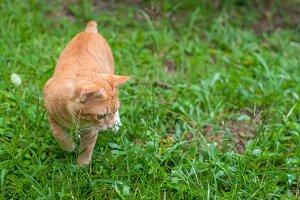Ginger cat hunting in the grass