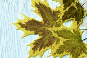 Border of Maple Leafs