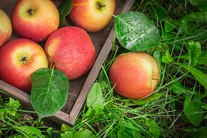 wooden tray of ripe apples in a garden on the grass