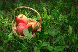 Basket with apples in the grass under the fruit tree. Selective