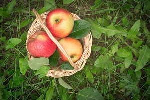 Ripe apples in a basket on the grass. Top view with copy space