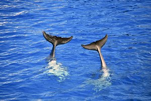 Two dolphin tails