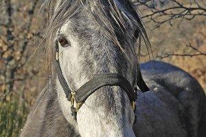 A Gray horse head