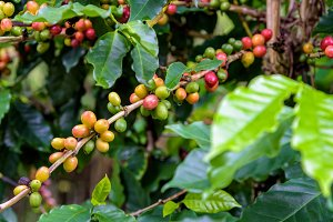 Coffee berry ripening