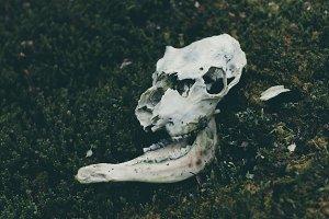 Reindeer Skull on mossy Rock
