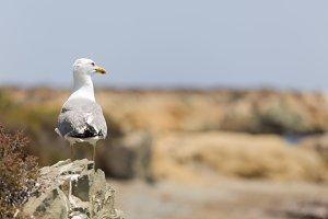Gull in Tabarca Island.