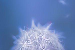 White closeup dandelion