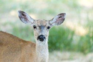 Black-tailed Deer Portrait