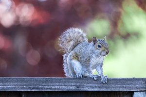 Eastern Gray Squirrel Posing