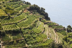 Vineyards next to the sea
