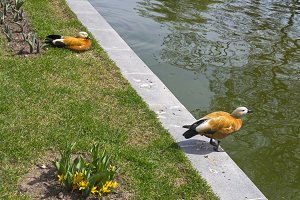 Two ruddy shelducks