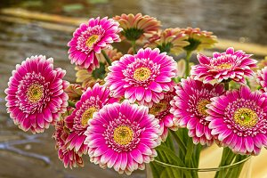 Bright purplish red gerberas.