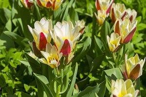 Kaufmanniana Floresta Tulips