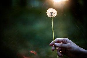 Dandelion in hand