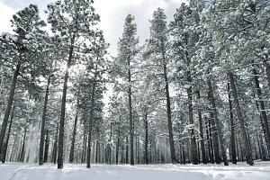 Snowy Pines 4