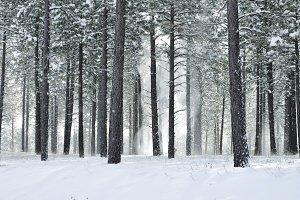 Snowy Pines 5