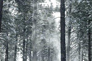 Snowy Pines 3