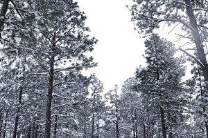 Snowy Pines 6