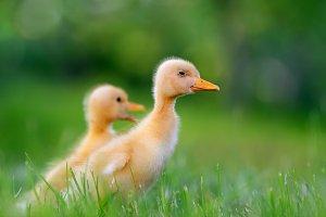 Duckling in grass
