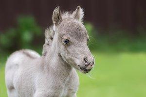 World's smallest horse