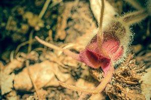 Wild Ginger Flower