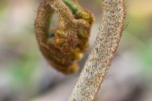 Bracken Fiddlehead in Spring