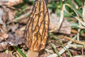 Closeup of Morel Mushroom