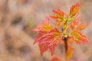 Young Red Maple Leaves