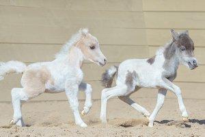 American miniature horse.